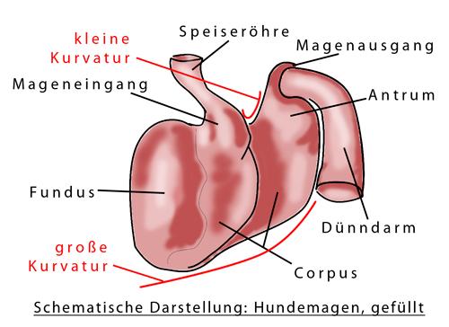 Magendrehung – Magendilatation-Volvulus-Syndrom (MDV) – Dalmatiner ...