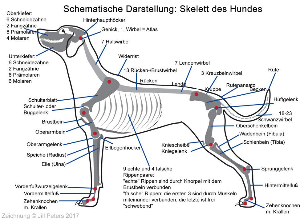 Anatomie & Physiologie – Dalmatiner Wissen A-Z